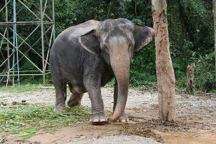 Une éléphante enceinte, à Elephant Camp, Phuket. Plutôt agressive, la future maman! (Photo: Marie-Julie Gagnon)