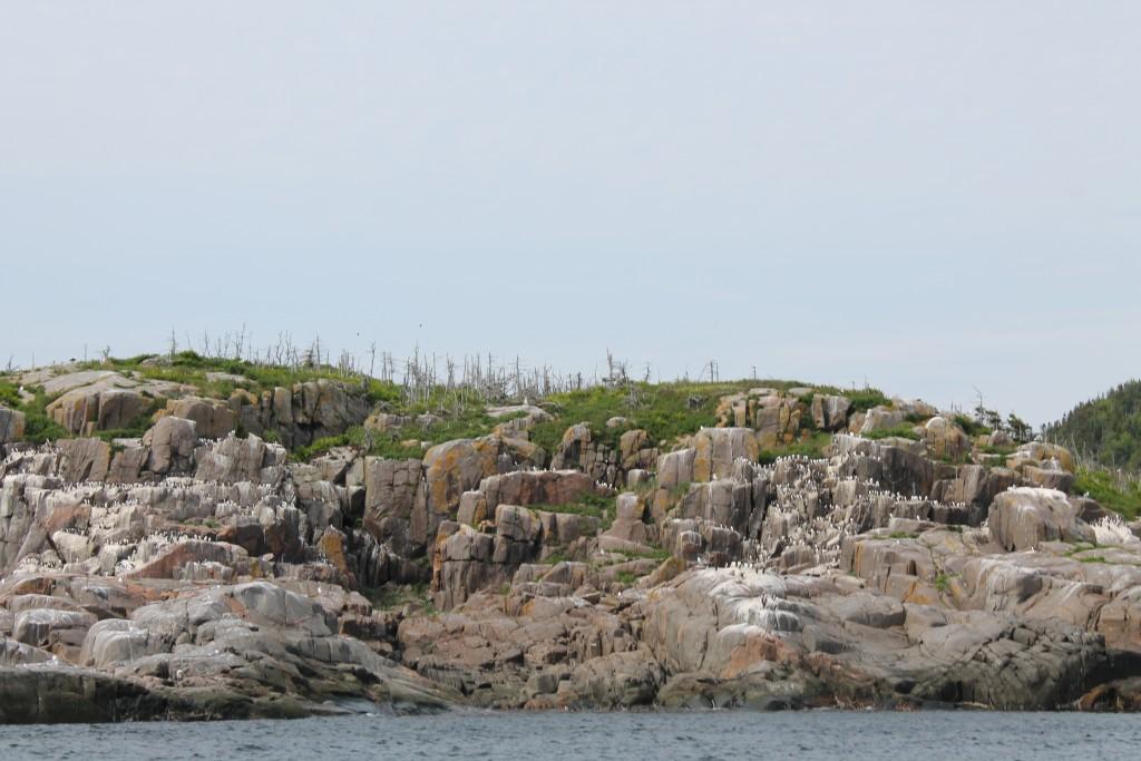 Les petits pingouins de l'île du Corossol, à Sept-Îles.